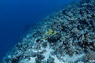 Gold-saddle goatfish-Rouget-barbet doré (Parupeneus cyclostomus) of Red Sea, Sudan.