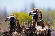 Black vulture, Spain