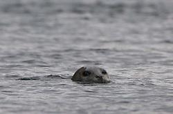 Harbor Seal (Phoca vitulina), Haro Strait, San Juan Islands, Washington, US