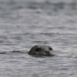 Harbor Seal (Phoca vitulina), Haro Strait, San Juan Islands, Washington, US
