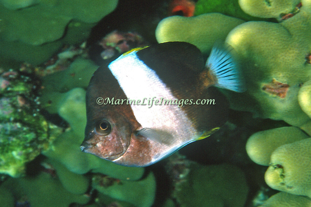Black Pyramid Butterflyfish inhabit reefs. Picture taken Andaman Sea, Myanmar.