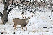 Trophy Mule Deer Buck in Winter Habitat