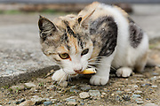 Aoshima, Ehime prefecture, September 4 2015 - Cats fighting for food. Every winter, many cats die due to the lack of food.<br /> Aoshima (Ao island) is one of the several « cat islands » in Japan. Due to the decreasing of its poluation, the island now host about 6 times more cats than residents.