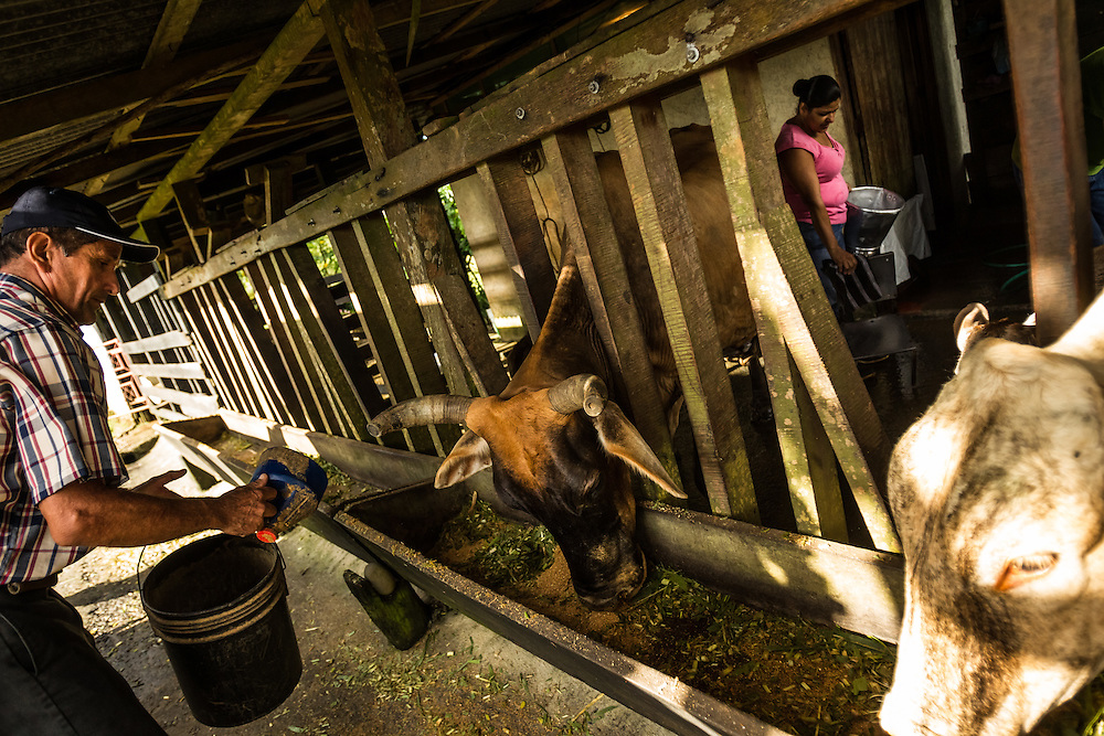 Freddy Rojas Torres feeds cows at his dairy farm in San Rafael de Rio Cuarto de Grecia, Costa Rica. Mr. Rojas-Torres has filed dozens of complaints against a neighboring pineapple farm, becuase he says they are producing flies that make his cattle sitck.