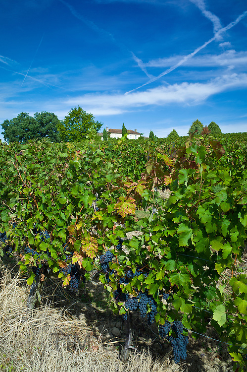 Cabernet Sauvignon grapes ripe for harvesting at Chateau Fontcaille Bellevue in Bordeaux wine region of France