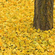 """Ginkgo Bliss""<br />