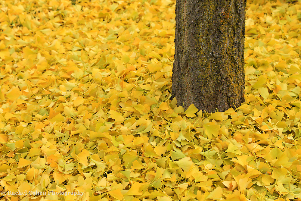 &quot;Ginkgo Bliss&quot;<br />