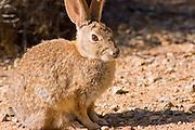 Desert cottontail rabbit (Sylvilagus audubonii), Carrizo Plain National Monument, California