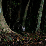 The large Indian civet (Viverra zibetha) is a civet native to South and Southeast Asia.