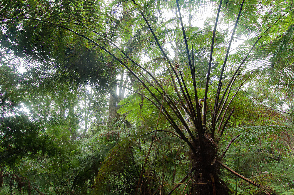 Tree-fern forest in Knysna, Cape Province, South Africa