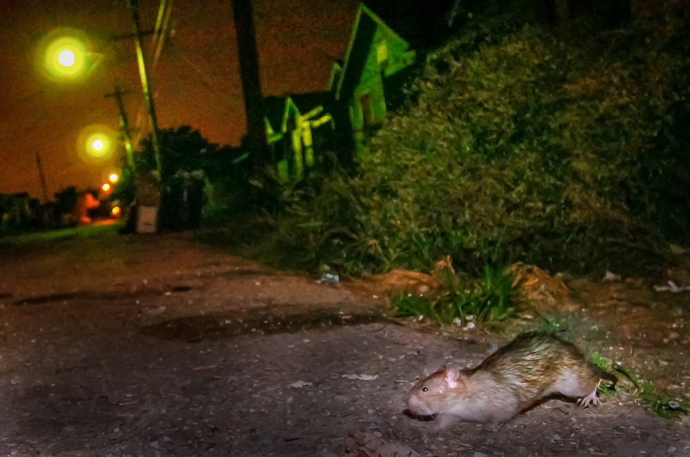 A rat dashes across the street in the 9th Ward. A proliferation of rats plagued New Orleans after Hurricane Katrina, the levee failure and the subsequent flooding devastated the city. www.kathyandersonphotography.com