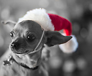 Rescued pup Tanya gets into the Christmas spirit for her portrait at the adoption fair.