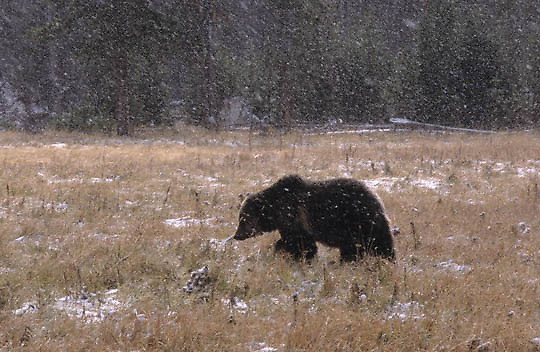 Grizzly Bear, (Ursus horribilis)  Yellowstone National Park. Late fall.