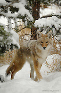 Coyote<br /> Allenspark, Colorado<br /> <br /> This little female has been a frequent visitor at Lori's and my home in Allenspark. I made this image through our living room window as she came to visit our bird feeders.<br /> <br /> Edition of 500