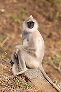 A tufted gray langur poses on a rock, Mudumalai National Park, India.