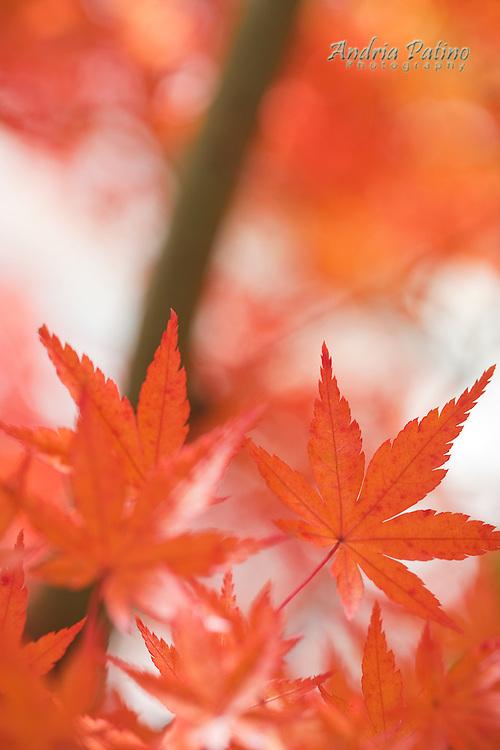 Japanese Maple leaves, Hakone, Japan
