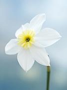 Narcissus 'Segovia' - daffodil