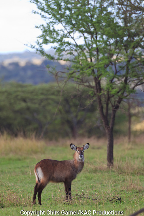 Waterbuck standing in the grass.