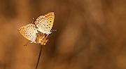 Mating butterflies. Two Lesser Fiery Copper (Lycaena thersamon) Butterflies mating. Shot in Israel, Summer September