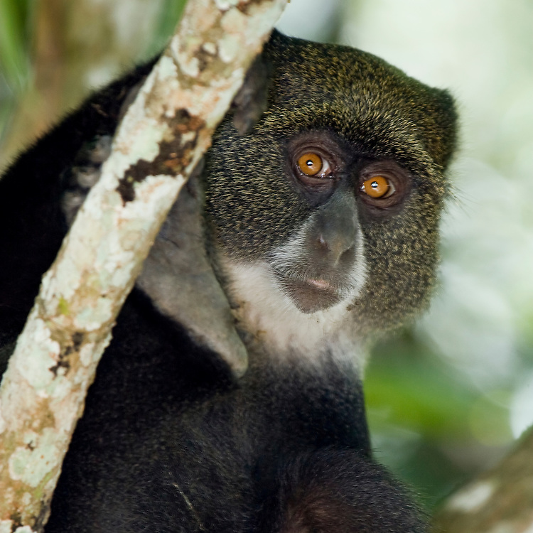 (Cercopithecus mitis) Blue Monkeys are arboreal primates found mainly in forested areas of Eastern Africa. Arusha National Park, Tanzania.