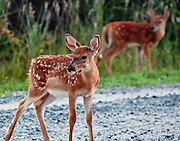 Two Fire Island Fawns at the Beach near the lighthouse kept me amused while waiting for the sunrise