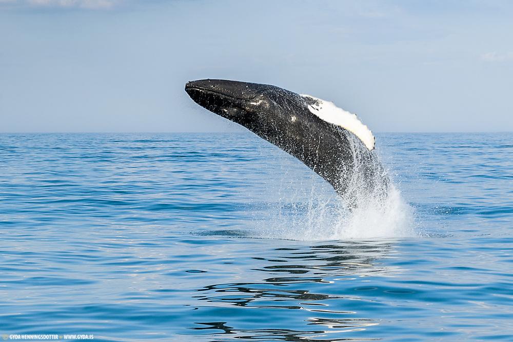 Humpback whale (Hnufubakur)