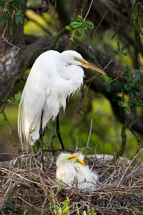 Great Egret (also known as the Great White Egret or Common Egret); parent on nest with chicks, Florida, USA.