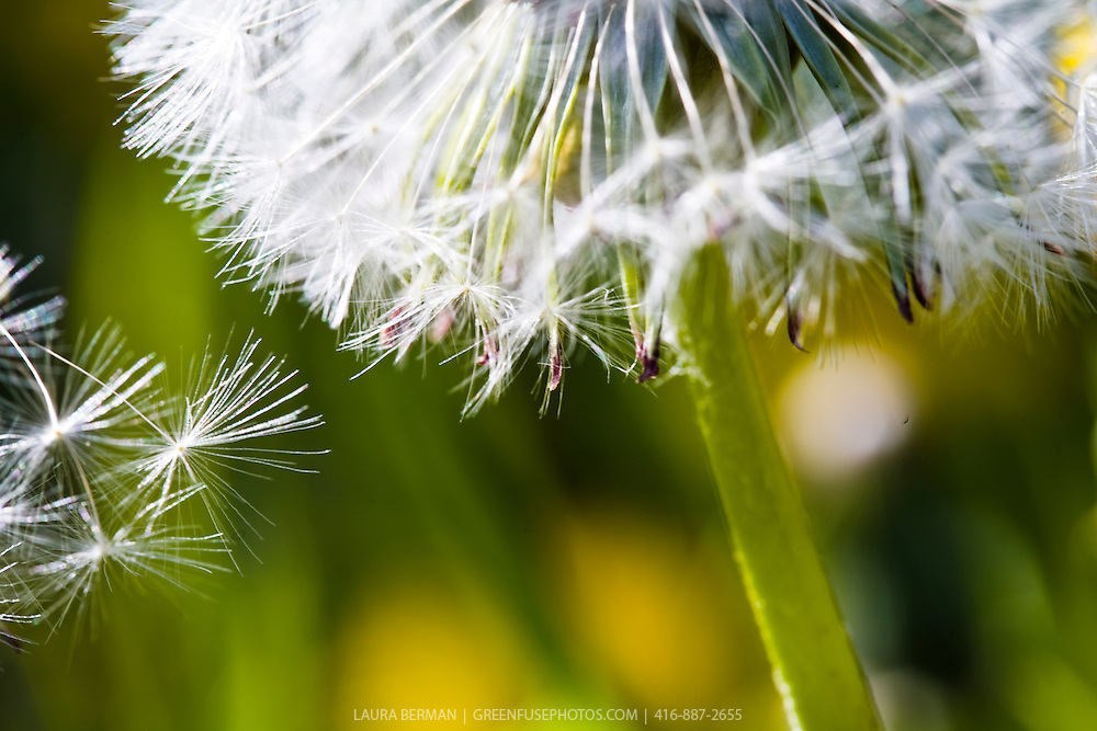 A dandelion flower covered with white wispy seeds, also known as a dandelion clock. (Taraxacum officinale)