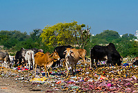 Cows feeding on refuse at a dump along a back road near Mathura, Uttar Pradesh, India.
