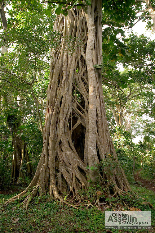 Giant parasite tree at the Baobeng-Fiema monkey sanctuary, Ghana, West Africa.
