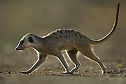 Erwachsene Erdmännchen (Surcata suricatta) nutzen die hellen, warmen Tagesstunden um sich in dem Territorium ihrer Gruppe auf Nahrungssuche zu begeben. Die nur vier Zehen an jedem Fuß sind besonders an den Vorderpfoten mit kräftigen Krallen ausgestattet. So ausgerüstet sind die etwa 30 cm großen Tiere (ohne Schwanz gemessen) in der Lage, ausgedehnte unterirdische Gangsysteme mit bis zu 1000 Eingängen anzulegen sowie ihre Beutetiere (Insekten, Spinnen, Skorpione und Reptilien) auszugraben.  |  Adult Suricates or Slender-tailed Meerkats (Suricata suricatta) forage during the warm daylight hours within the territoty of their social group.They have only four tows on each foot, but especially on the front paw the tows are equipped with extraordinarily long claws. These claws enable the quite small animals (30 cm body length) to dig large burrow systems with up to 1000 entries and to paw for their prey (insects, spiders, scorpions, and little reptiles).