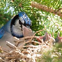 Birds - Jays