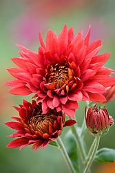 Chrysanthemum 'Crimson Shoesmith'