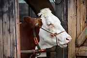 Nederland, Hernen, 29-6-2014Een melkveebedrijf. Koeien staan in de stal. Foto: Flip Franssen/Hollandse Hoogte