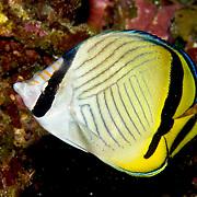 Vagabond Butterflyfish inhabit reefs. Picture taken Fiji.