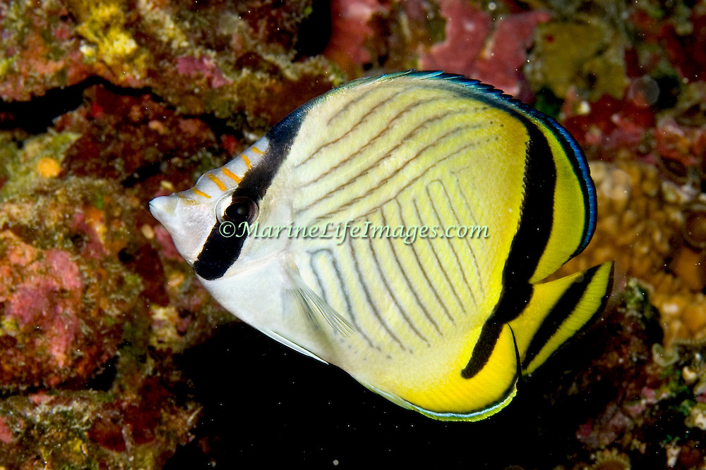 Vagabond Butterflyfish inhabit reefs. Picture taken Fiji.