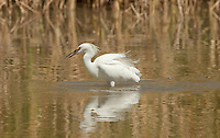 Early September small fish are abundant in the open waterways of the marshes in norther Utah like other wading birds the Snowy Egret is taking advantage of this prime feeding time of the year.