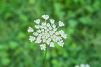Similar in appearance to many of the toxic hemlock species, Queen Anne's lace is a harmless member of the carrot famil that is native to Southwest Asia and some parts of Europe, but is now naturalized and found throughout most of North America. I found this delicate and beautiful one growing in Arkansas' Mammoth Spring State Park.