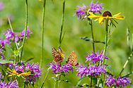 Butterflies and wildflowers: fritillary butterflies feeding on a horsemint blossom, with black-eyed Susan blossoms nearby, mountain meadow, Jemez Mountains, NM. © 2010 David A. Ponton