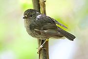 North Island Robin (Toutouwai) in Zealandia (Karori Wilderness Sanctuary).