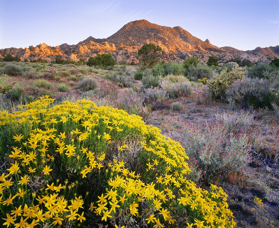 0605-1005 ~ Copyright:  George H. H. Huey ~ The New York Mountains with Cooper golden bush in bloom.  Mojave National Preserve.  Mojave Desert.  California.