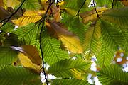 Autumn leaves Castanea sativa sweet chestnut tree viewed from underneath