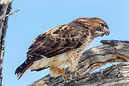 Red-tailed hawk swallowing the leg of a mourning dove, © 2011 David A. Ponton