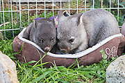 Common Wombat <br /> Vombatus ursinus<br /> Seven-month-old joey and six-month-old orphaned joeys (mother was hit by car) <br /> Bonorong Wildlife Sanctuary, Tasmania, Australia<br /> *Captive- rescued and in rehabilitation program