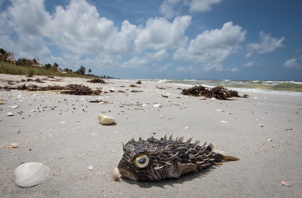 Dead fish and tutles liter the beach in Boca Grande, Florida  during a red tide event.