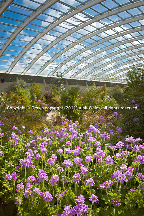 Interior view of Great Glasshouse in spring<br /> National Botanic Garden of Wales<br /> Near Llanarthne<br /> Carmarthenshire<br /> South<br /> Tourist Attractions
