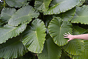 Taketomi-jima. Big taro leaves.