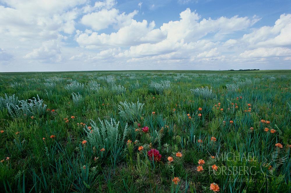 Wildflowers in the shortgrass prairie of Kimball County, Nebraska