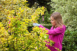 Summer pruning a spring flowering shrub (weigela) after it has finished flowering