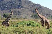 Kenya, Samburu National Reserve, Reticulated Giraffe, Giraffa camelopardalis reticulata